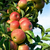 lots of red apples on a branch stock photo © smileus
