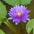 blooming lotus flower stock photo © smuay