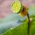 lotus · zaad · peul · voedsel · natuur · vruchten - stockfoto © smuay