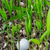 golf ball stuck in palm seedlings stock photo © smuay