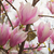 magnolia · flores · completo · florecer · primavera · árboles - foto stock © sophie_mcaulay