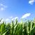 çiftçiler · mısır · alan · mavi · gökyüzü · üretmek - stok fotoğraf © spectral
