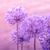 allium giganteum in pink colors stock photo © sportactive