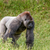 Old gorilla on a grass field stock photo © Sportactive