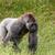 öreg · gorilla · fűmező · magas · döntés · fotó - stock fotó © Sportactive