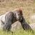 big gorilla walking in the grass stock photo © sportactive