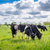 Holstein-Frieser cows on a meadow stock photo © Sportactive