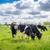 tehenek · testtartás · tehén · festői · mező · felhők - stock fotó © sportactive