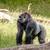 nagy · gorilla · fű · magas · döntés · fotó - stock fotó © Sportactive