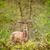 szarvas · erdő · agancs · zöld · ősz · fiatal - stock fotó © Sportactive