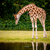 Giraffe looking into the water stock photo © Sportactive