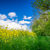 Canola on a green meadow stock photo © Sportactive