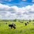 cows grazing in the summertime stock photo © sportactive