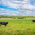 Two cows on a green field stock photo © Sportactive