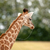 Young giraffe with slime in the mouth stock photo © Sportactive
