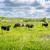 tehenek · áll · mező · feketefehér · nyár · díszlet - stock fotó © Sportactive