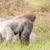 szőrös · gorilla · másfelé · néz · magas · döntés · fotó - stock fotó © Sportactive