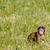 Berber baby monkey on a field stock photo © Sportactive