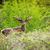 szarvas · reggel · erdő · ősz · női · állat - stock fotó © Sportactive