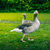 Grey geese on a green lawn stock photo © Sportactive