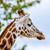 zsiráf · fej · fák · magas · döntés · fotó - stock fotó © Sportactive