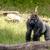 big gorilla looking at you stock photo © sportactive