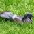 piccione · erba · verde · amore · uccello · ritratto · animali - foto d'archivio © srnr