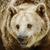 brown bear stock photo © srnr