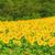 manzara · yeşil · alan · sarı · çiçekler · mavi · gökyüzü · büyük - stok fotoğraf © srnr