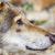 серый · волка · портрет · лет · цвета · власти - Сток-фото © srnr