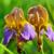 коричневый · Iris · подробный · человека - Сток-фото © srnr