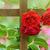 саду · забор · роз · плющ · цветы - Сток-фото © srnr