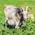A Nanny Goat stock photo © SRNR