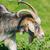 Portrait of Nanny Goat stock photo © SRNR