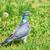 common wood pigeon stock photo © srnr