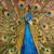 pavão · quadro · completo · abstrato · colorido · escuro - foto stock © srnr