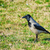 crow on grass stock photo © srnr