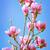 çiçekli · pembe · manolya · bahar · duygu · sığ - stok fotoğraf © srnr