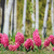 florescimento · flor · jacinto · pote · decorado · musgo - foto stock © srnr