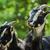 goat stock photo © srnr