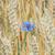 blue cornflower stock photo © srnr