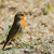 an european robin stock photo © srnr