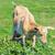 Young Nanny Goat stock photo © SRNR