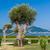 eski · zeytin · alan · hazır · hasat - stok fotoğraf © steffus