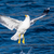 seagull bird take off stock photo © steffus