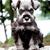 pequeno · jack · russell · terrier · sessão · cinza · cão · diversão - foto stock © stephaniefrey
