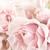 pastel pink tea rose stock photo © stephaniefrey