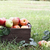vers · appels · boomgaard · najaar · voedsel · zon - stockfoto © stephaniefrey
