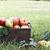 bushel of apples at orchard stock photo © stephaniefrey