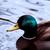 férfi · tó · felület · kacsa · úszik · háttér - stock fotó © stephaniefrey